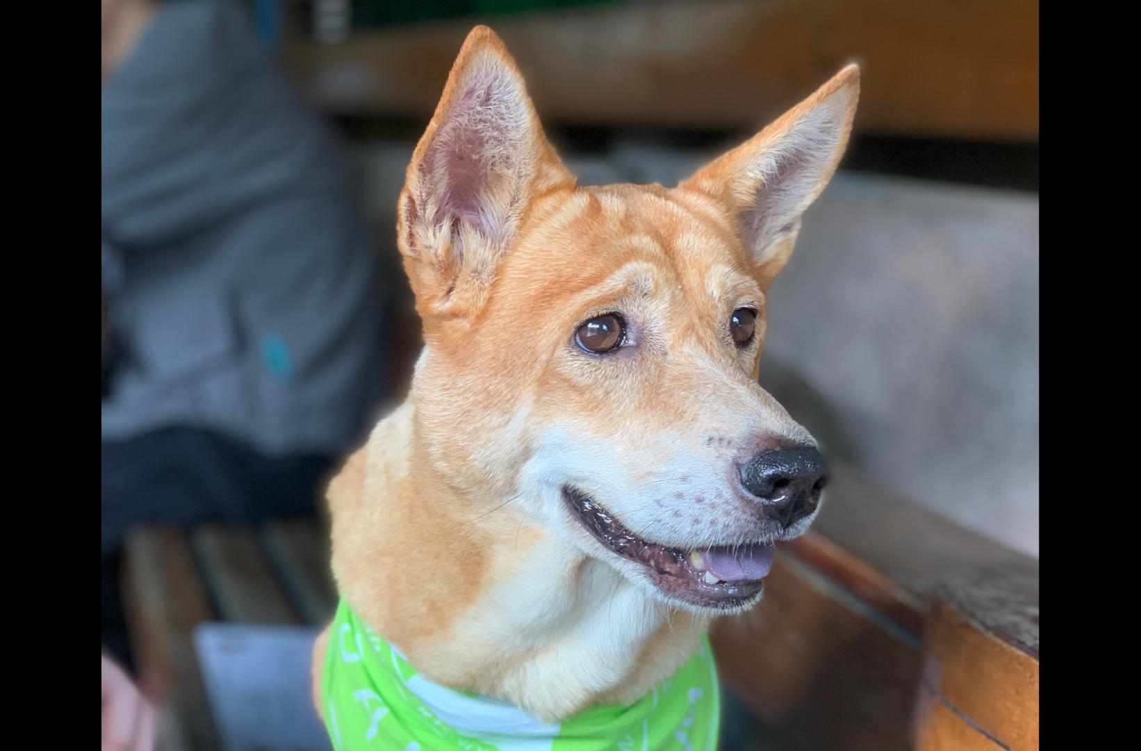 Quina, a dog for adoption at MASDAW / Macao pet adoptions