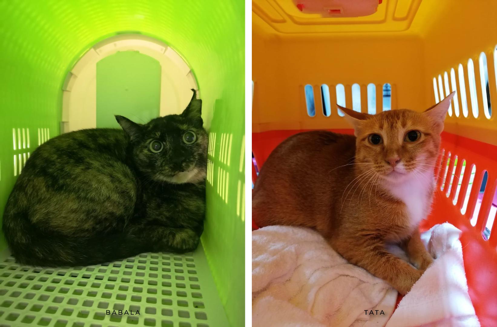 Babala and Tata, cats for adoption at AAPAM